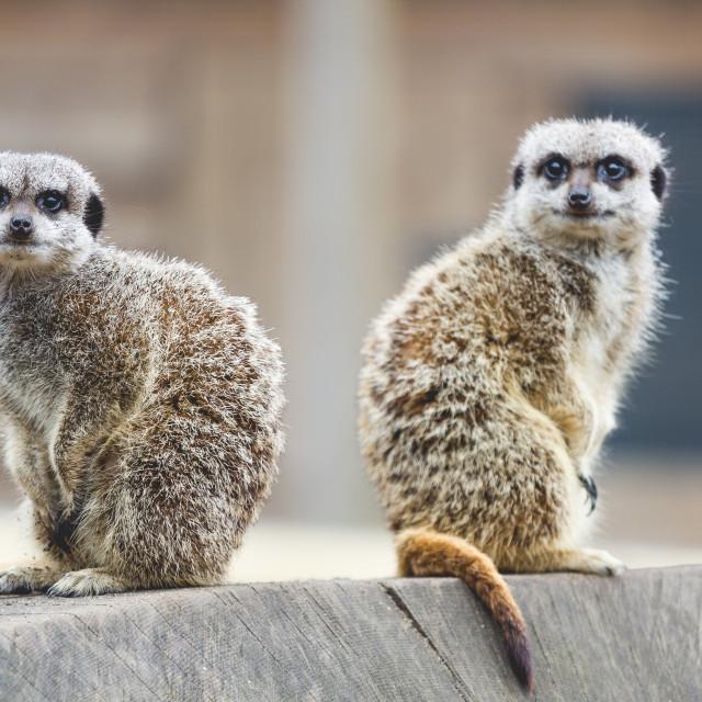 """""""Meerkat lookouts"""" stock image"""