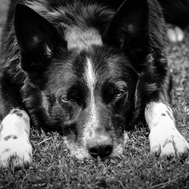 """Tired Dog"" stock image"