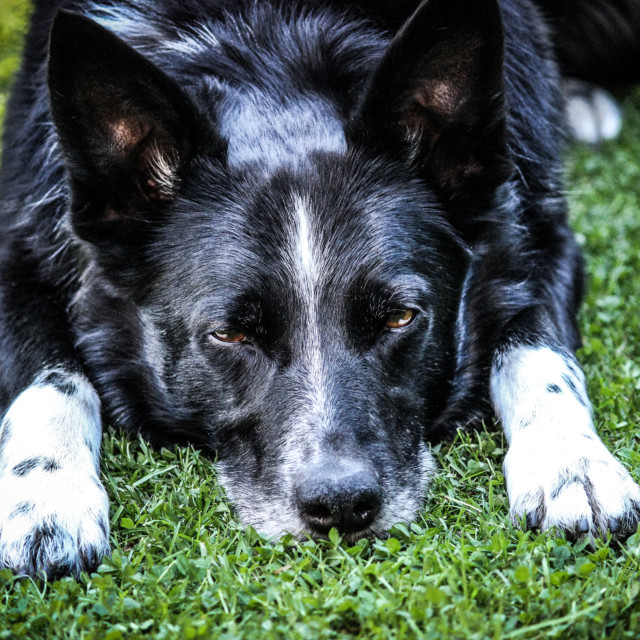 """""""Tired Dog (Colour"""" stock image"""