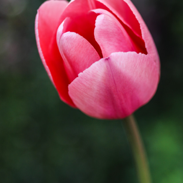 """Single Tulip"" stock image"