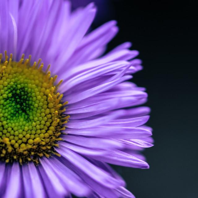 """""""Erigeron 'Rosa Juwel' Flower"""" stock image"""