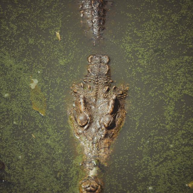 """croc"" stock image"