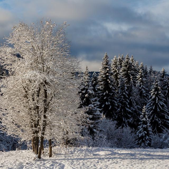 """""""Snow Laden Tree"""" stock image"""