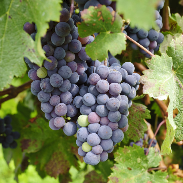"""Grapes on the Vine"" stock image"