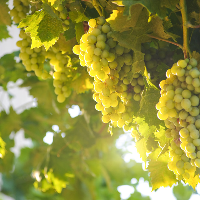 """Grapes Through the Sunshine"" stock image"