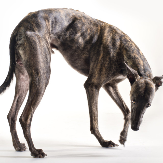 """Whippet in studio"" stock image"