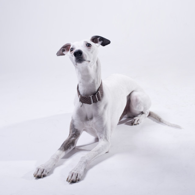 """white whippet lying in studio"" stock image"