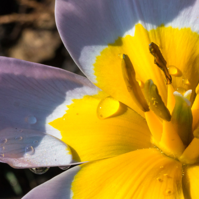 """Flower Stamen"" stock image"