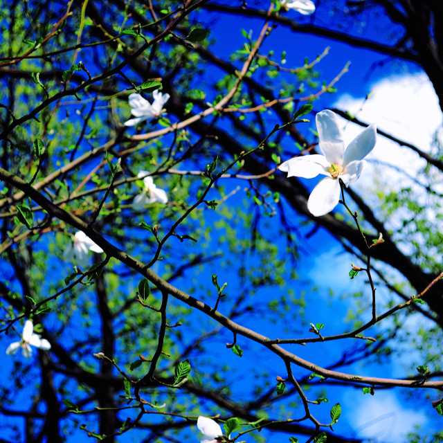 """Spring Sky. White Blossoms against the Background of a Blue Sky"" stock image"