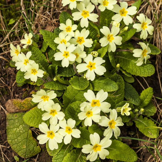 """""""Spring Primrose flowers"""" stock image"""