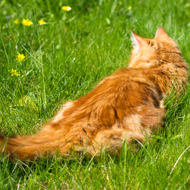 """Ginger Cat Playing In Grass"" stock image"