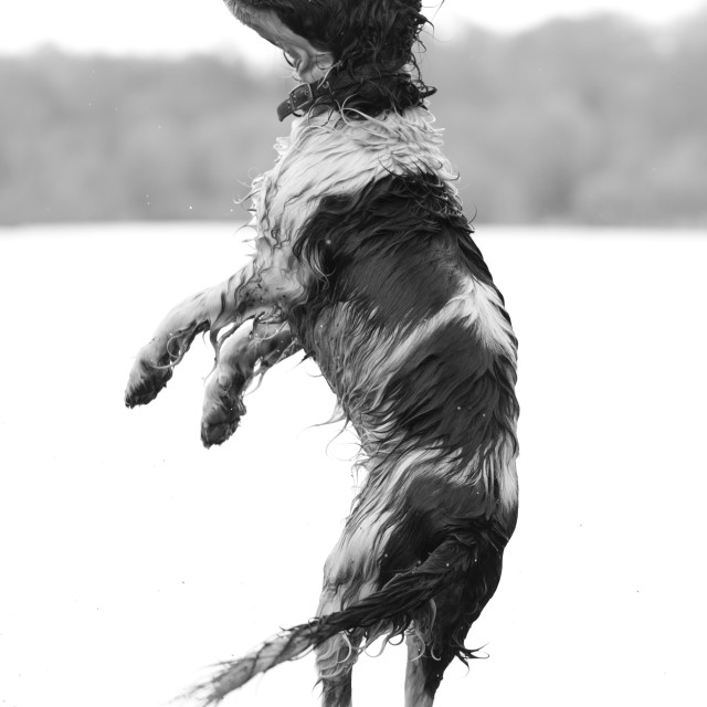 """Spaniel in Flight"" stock image"