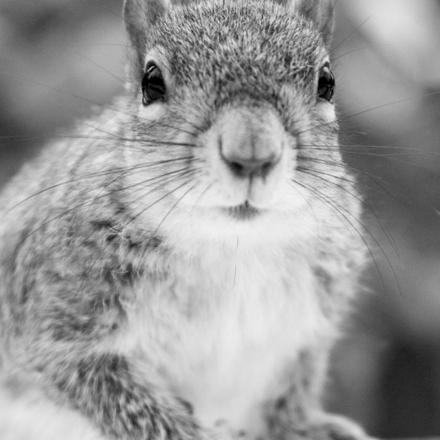 """Squirrels of Central Park"" stock image"