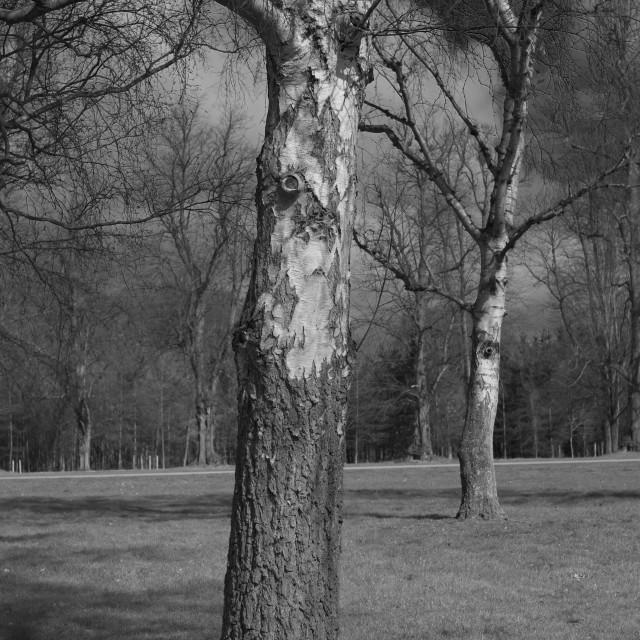 """Silver Birch Tree"" stock image"