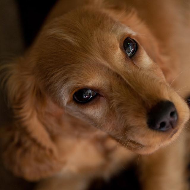 """English Cocker Spaniel Puppy"" stock image"