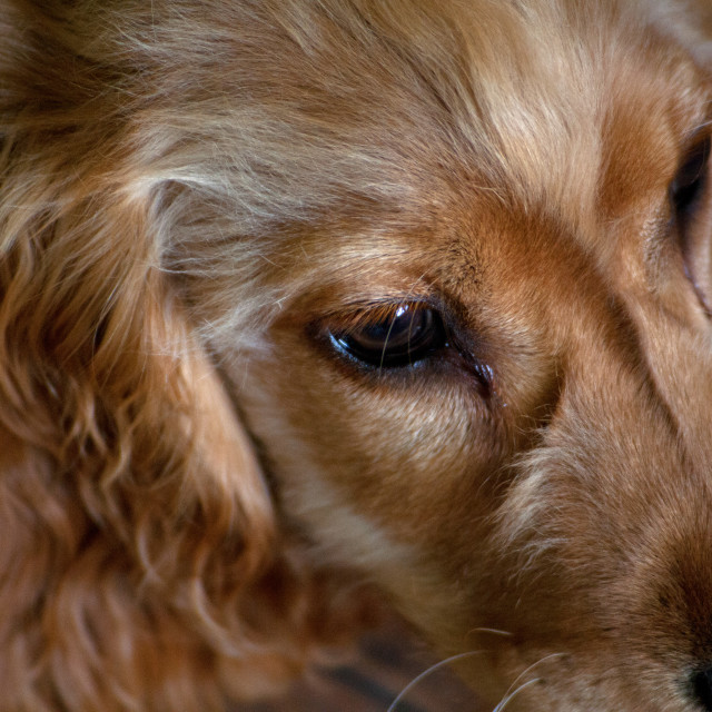 """English Cocker Spaniel"" stock image"