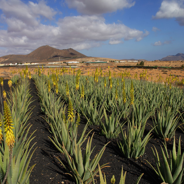 """Aloe Vera Field"" stock image"