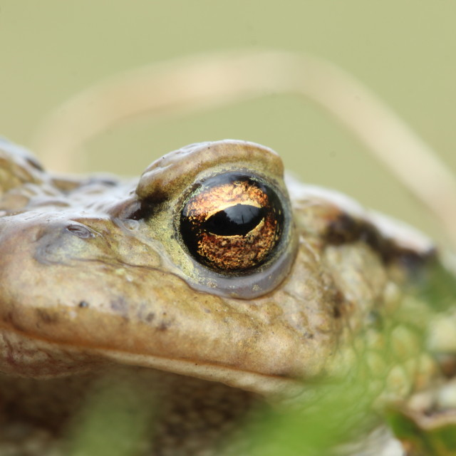 """""""common toad."""" stock image"""