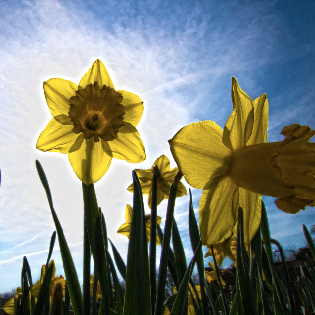 """Backlit Daffodils"" stock image"
