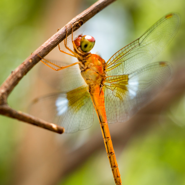 """Orange Dragonfly"" stock image"