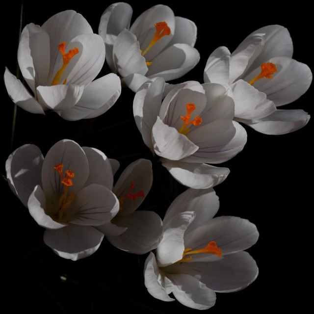"""Jeanne D'Arc Crocus Flower"" stock image"