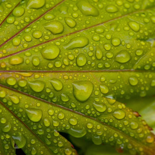 """Wet Green Acer Tree Leaf"" stock image"