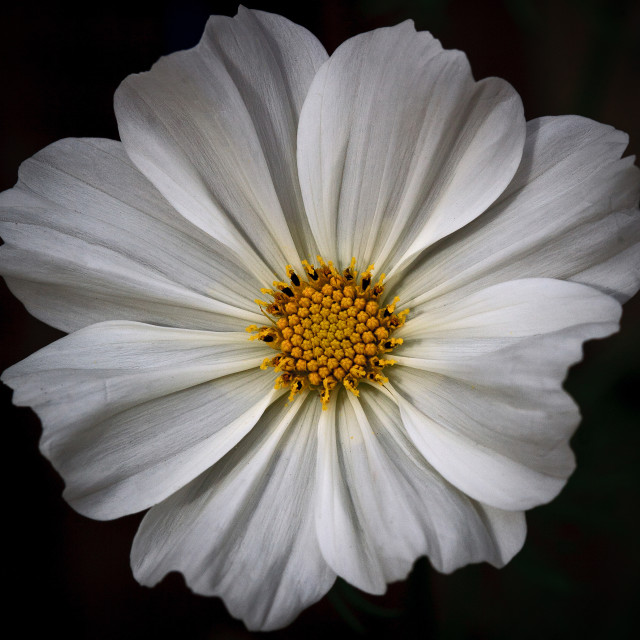 """Cosmos White Flower"" stock image"