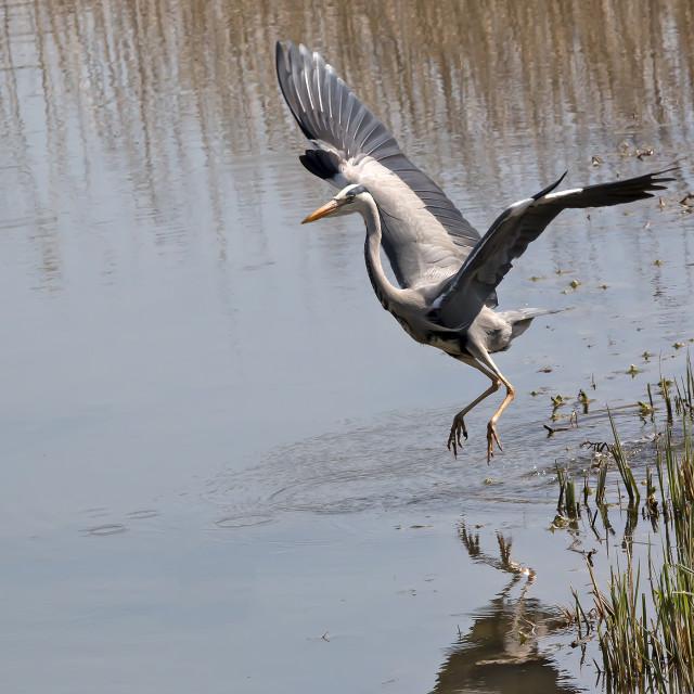 """Grey Heron."" stock image"