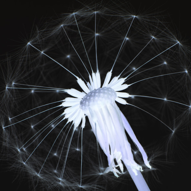 """Dandelion Head - Inverted"" stock image"