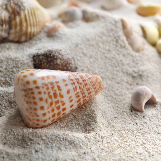 """seashell"" stock image"