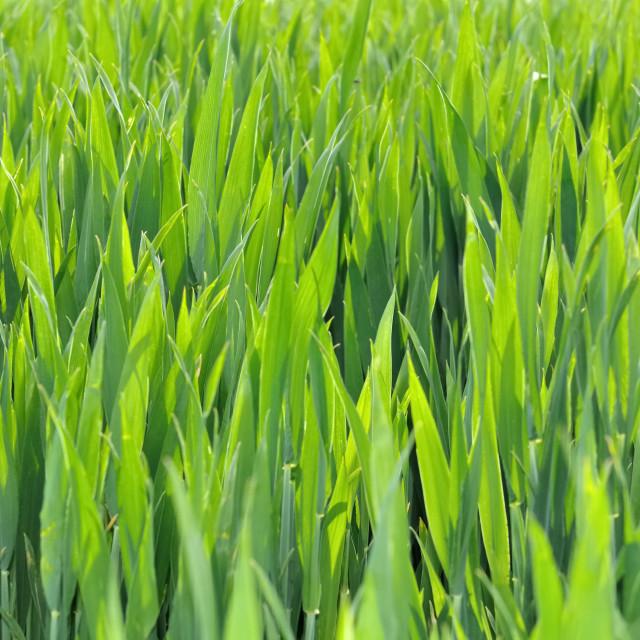 """green wheat"" stock image"