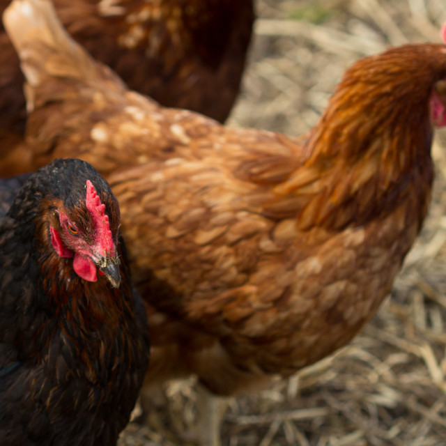 """Black and Brown Chickens"" stock image"