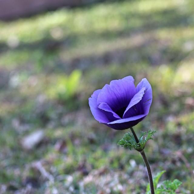 """Purple flower"" stock image"
