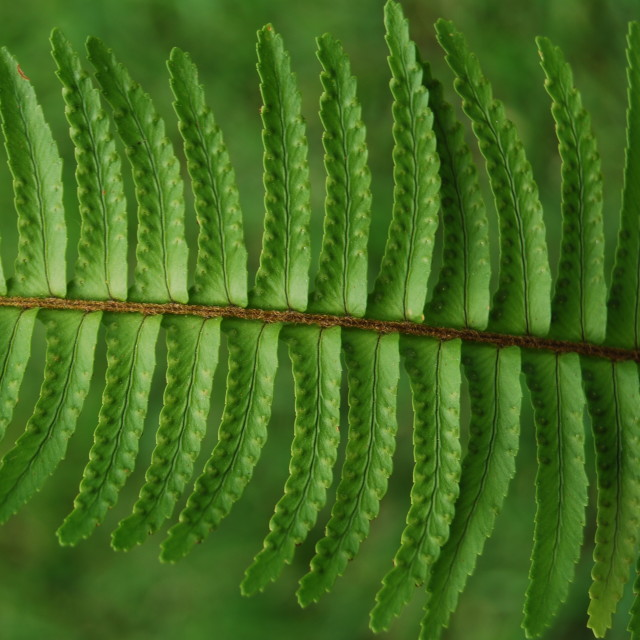 """Fern"" stock image"
