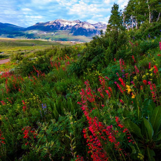 """""""Colorado Wildflowers"""" stock image"""