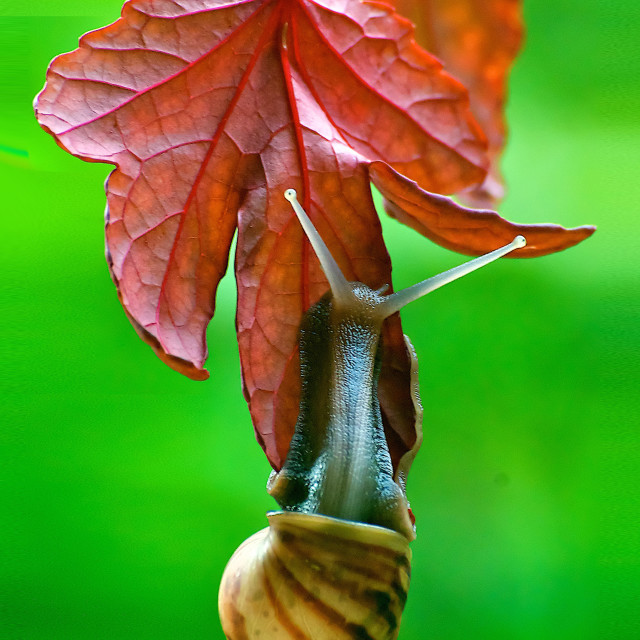 """snail on a leaf"" stock image"