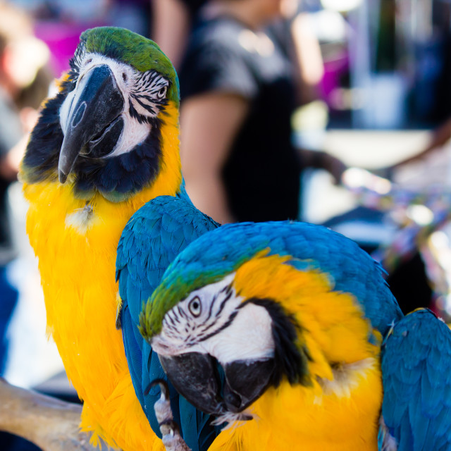 """Macaw Parrots"" stock image"
