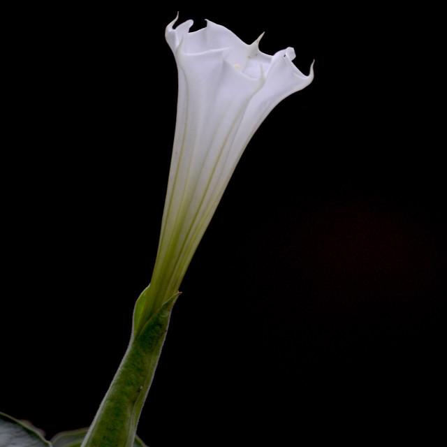 """Solitary wild white flower"" stock image"