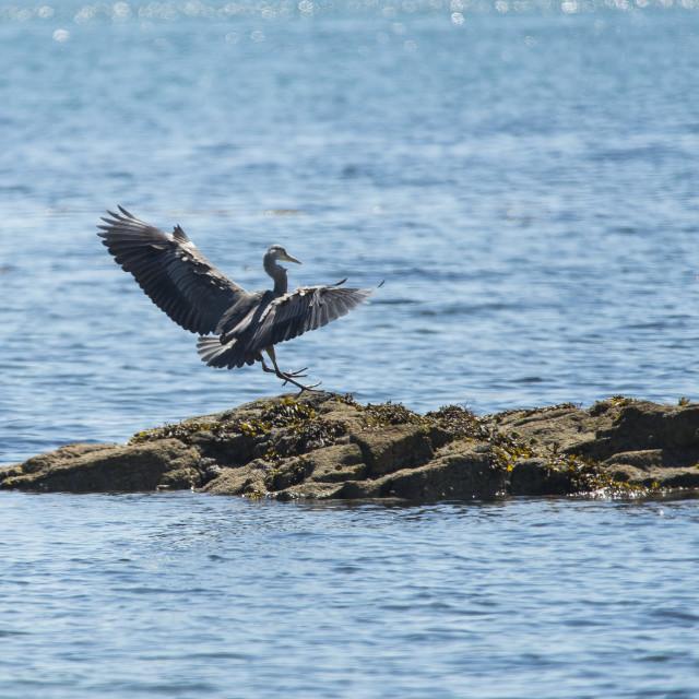 """""""Heron landing"""" stock image"""