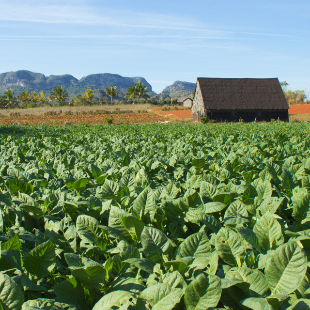 """Tobacco field"" stock image"