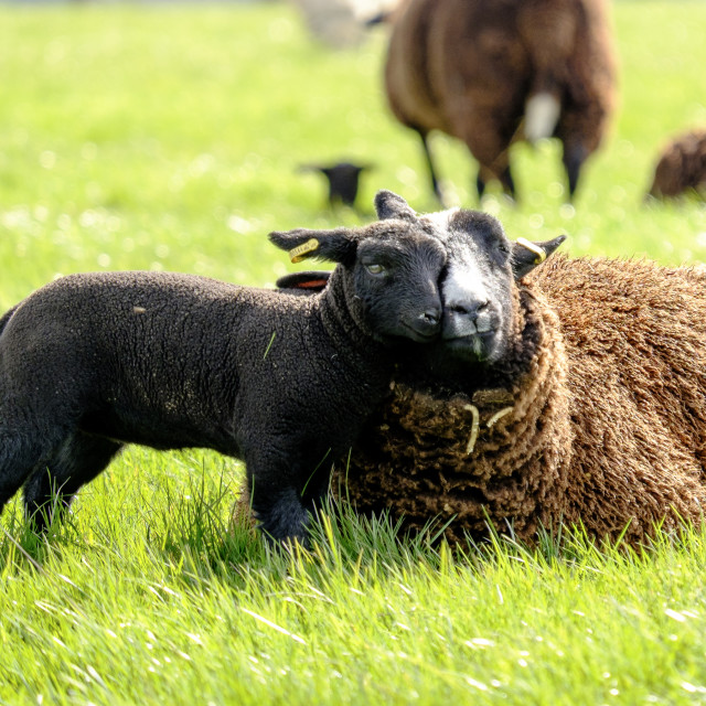 """Lamb and mother"" stock image"