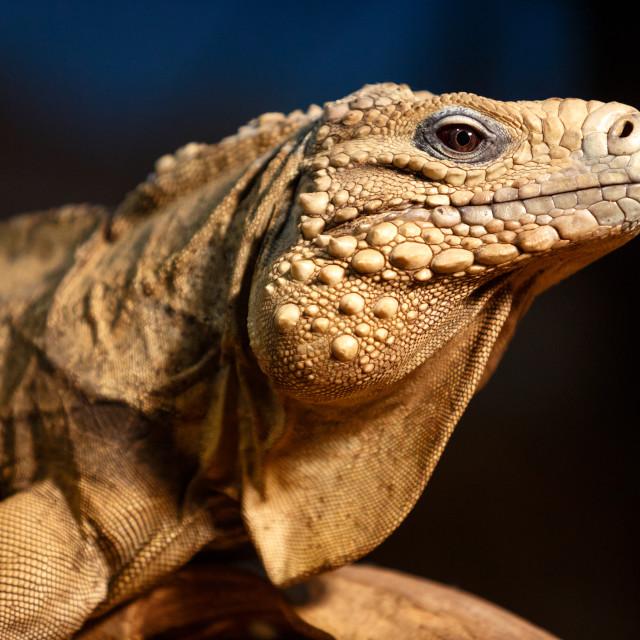 """""""Detail of iguana"""" stock image"""