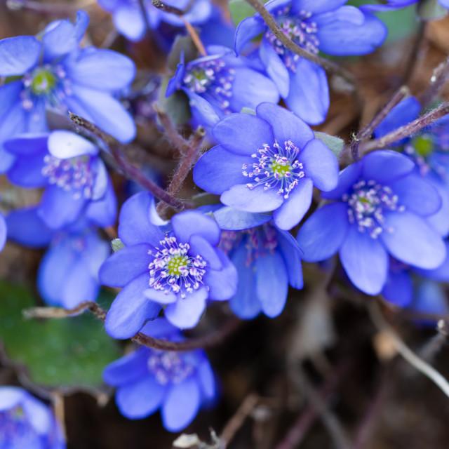 """""""Hepatica nobilis in the spring garden"""" stock image"""