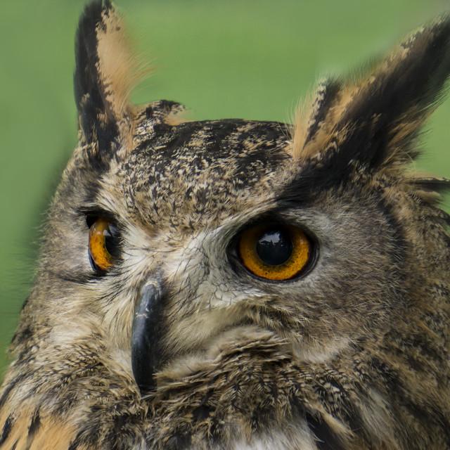 """""""Long eared owl"""" stock image"""