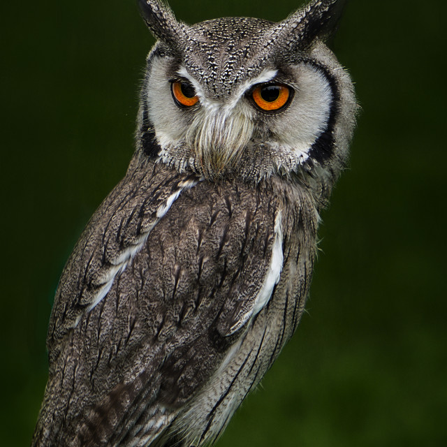 """Scops Owl"" stock image"