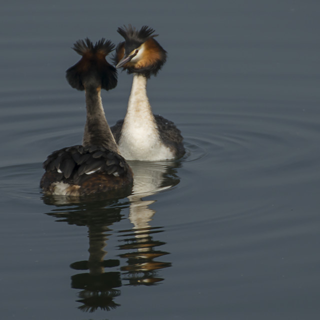 """Great Crested Grebe"" stock image"