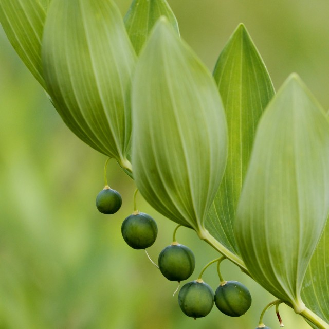 """Angular Solomon's seal"" stock image"