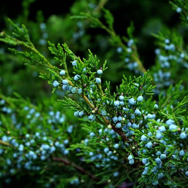 """Evergreen and blue"" stock image"