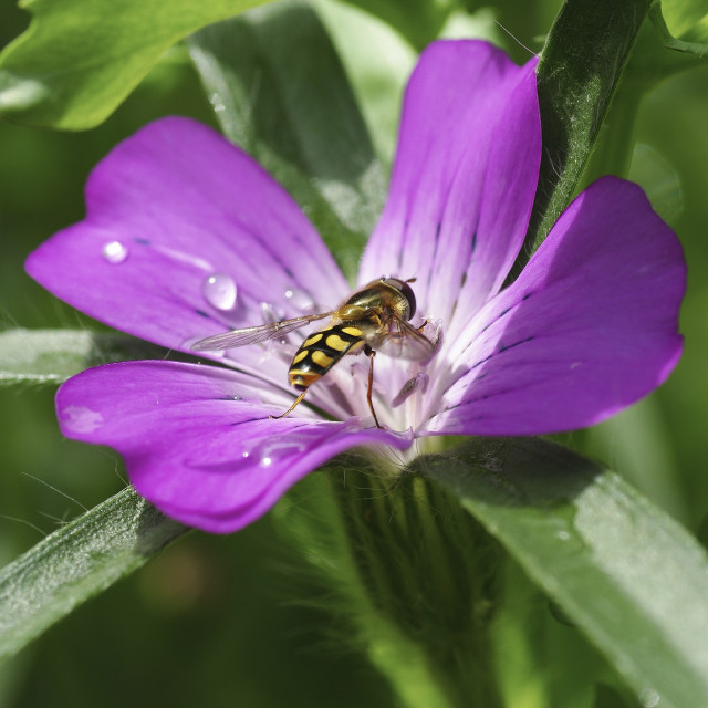 """Hoverfly on corncockle"" stock image"