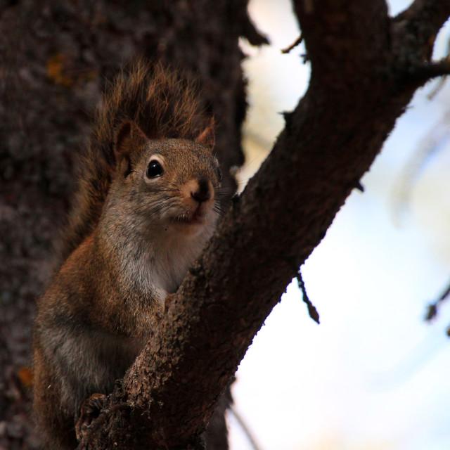 """""""Surpised Red Squirrel!"""" stock image"""